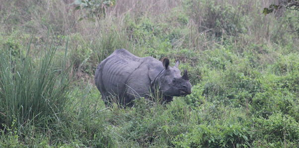 A rhino in Chitwan National Park