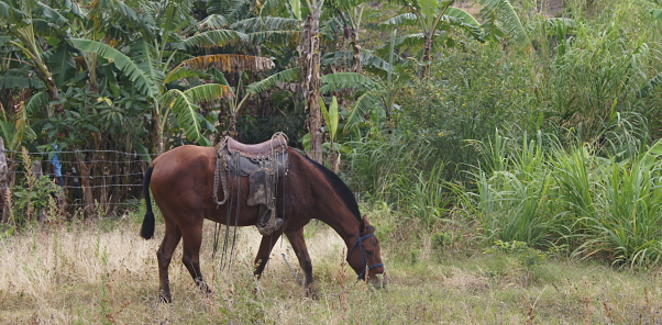 A horse munches on grass in Nicaragua