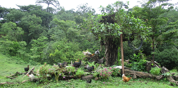 Chickens group around some trees in San Jose el Paraiso